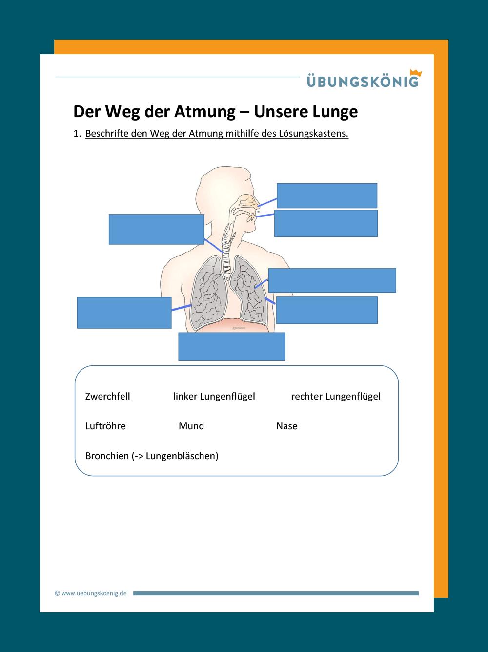 Lunge und Gasaustausch
