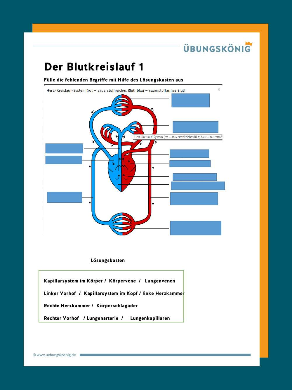 Blutkreislauf und Herz